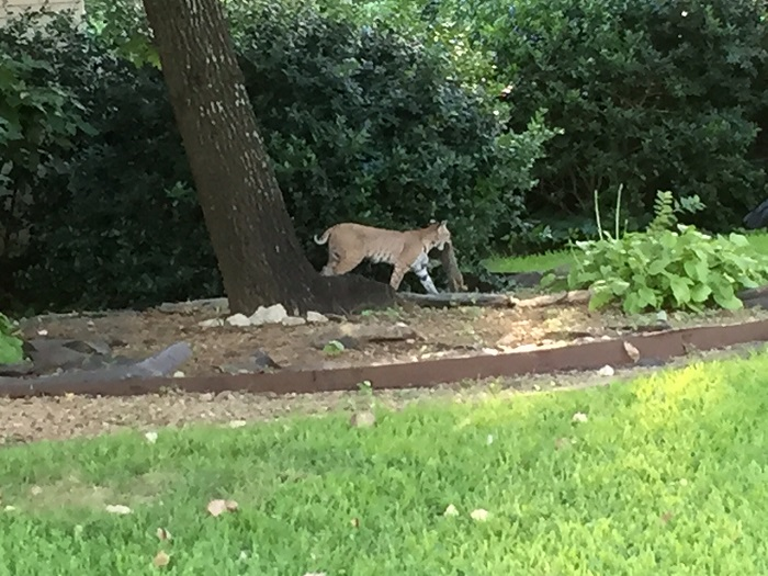 The much discussed Preston Hollow bobcat, photo via candysdirt.com