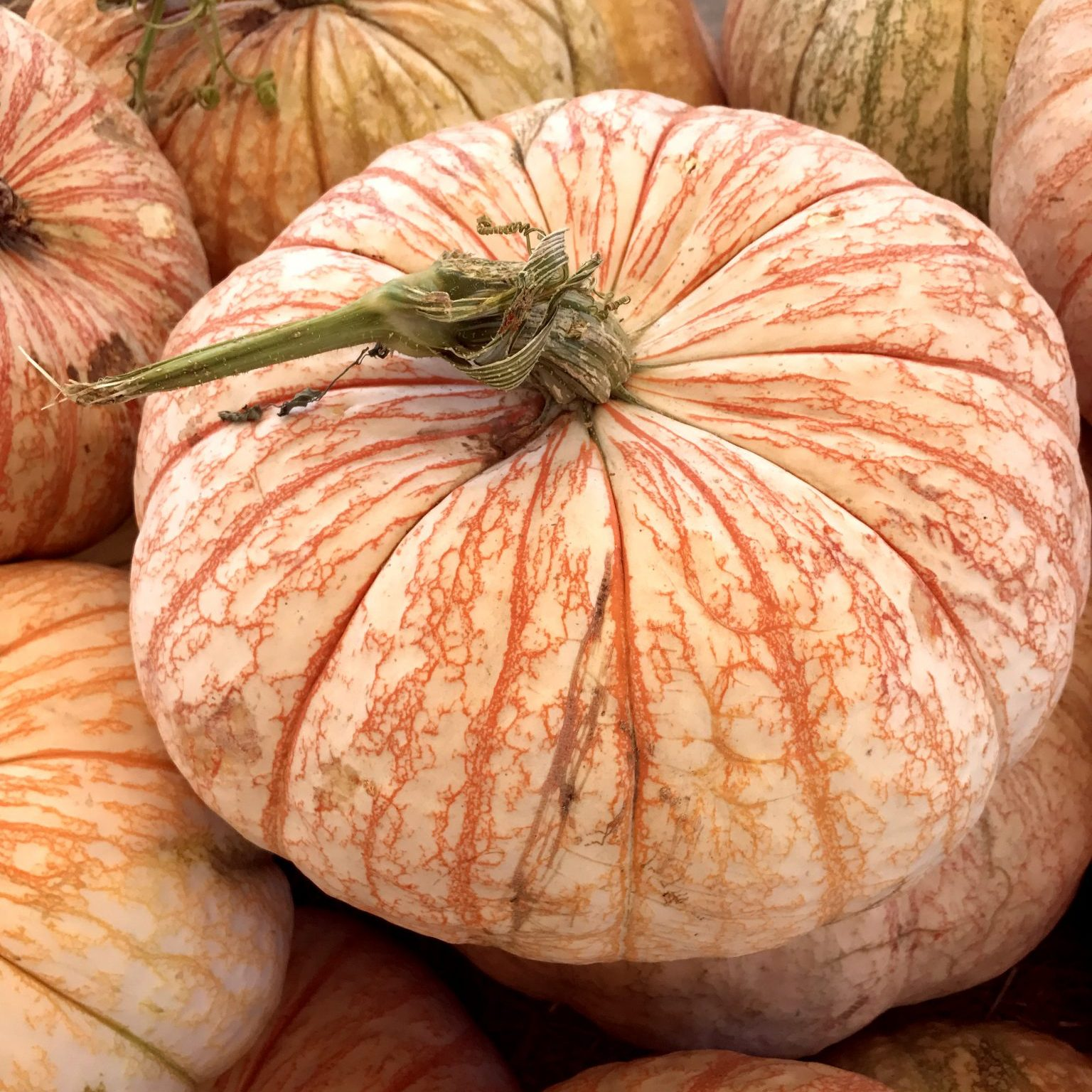 If you're looking for unique styles of pumpkins this Halloween, head to North Haven Garden.