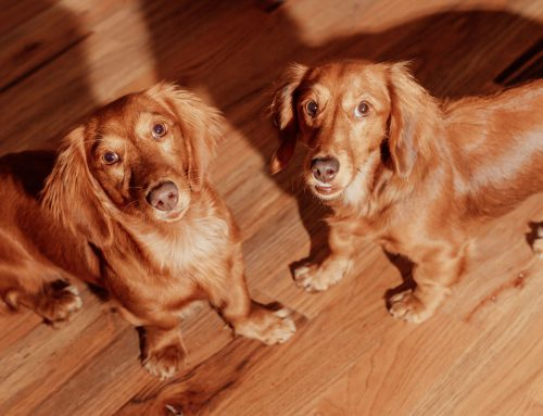 These three dachshunds are the loyalest of companions